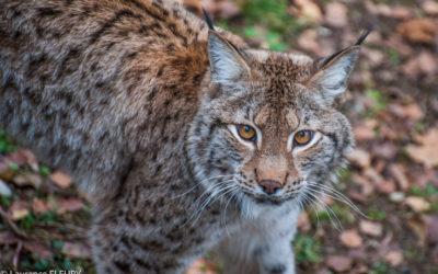 Lynx y es-tu ?