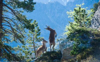 Le bouquetin de retour dans les Pyrénées